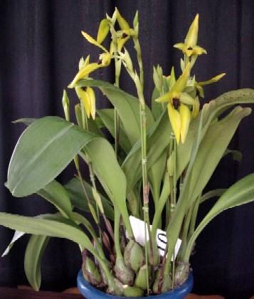 Bulbophyllum_carunculatum5.jpg
